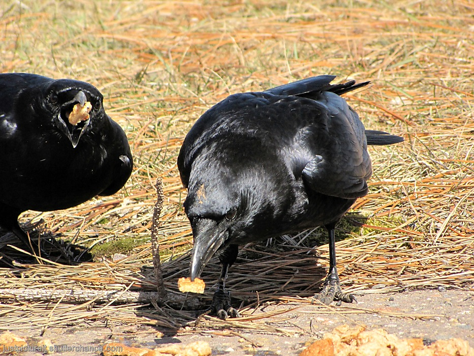 photoblog image Two Crows