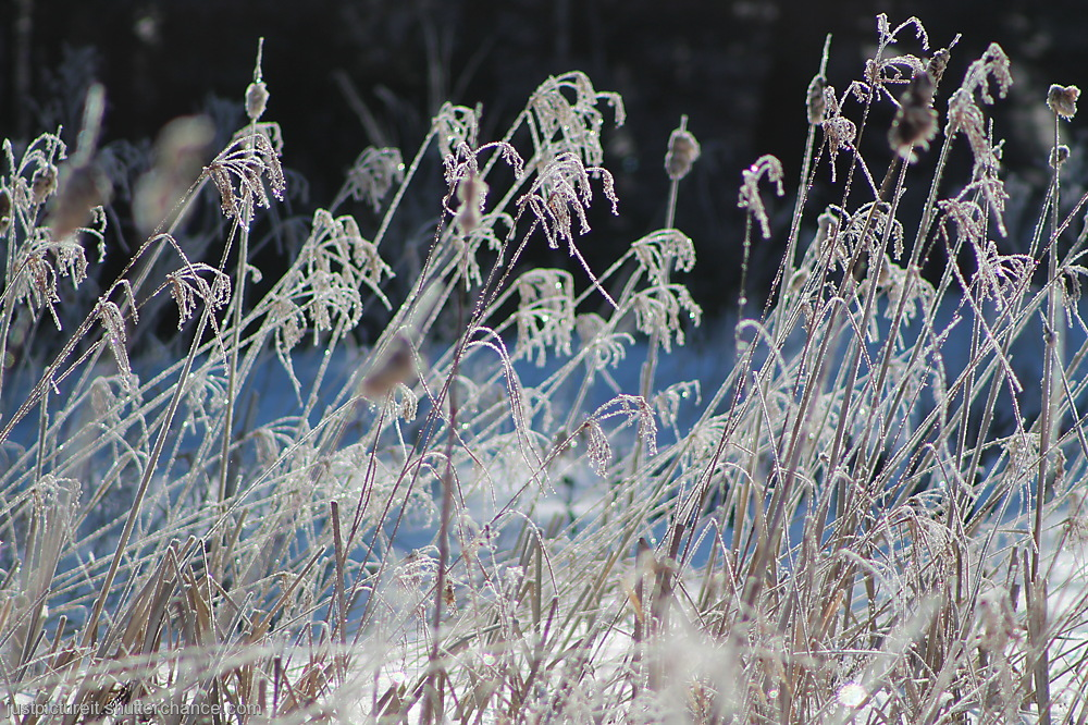 photoblog image Frosty Grasses 1