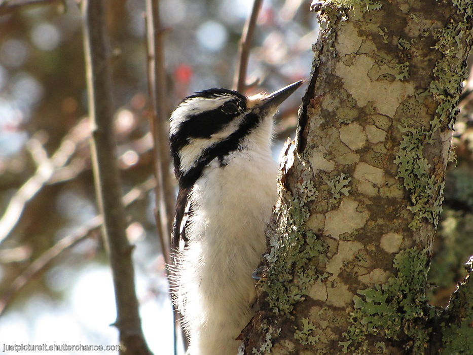 photoblog image Downy Woodpecker
