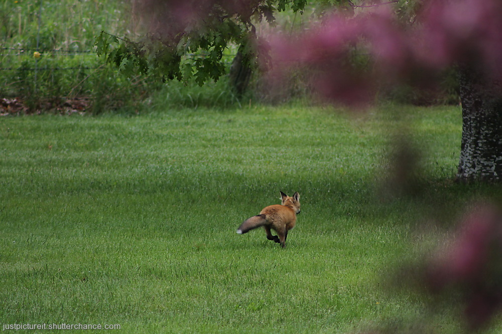 photoblog image Foxes