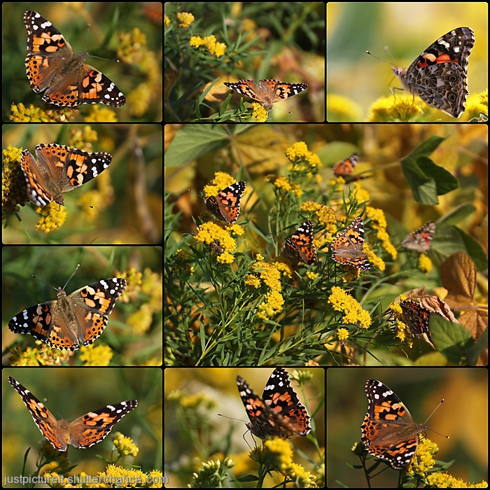 photoblog image Butterflies - Goldenrod larger2017.jpg