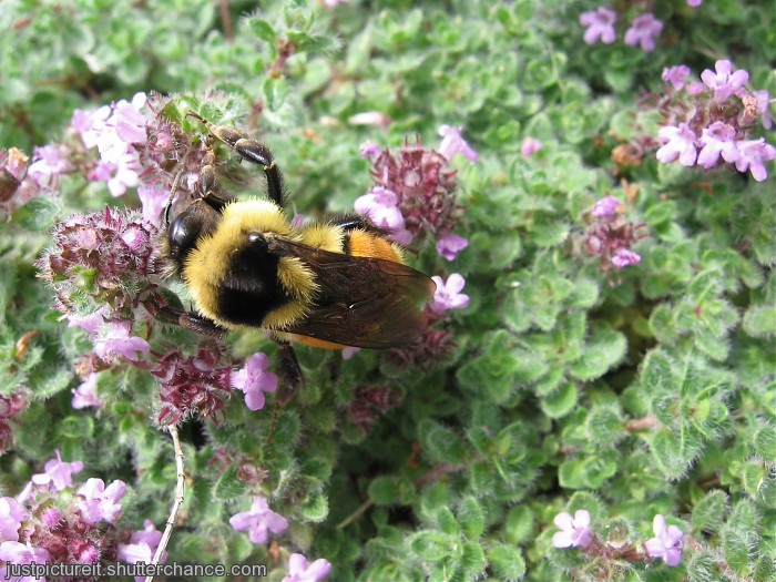 photoblog image Bumble Bee